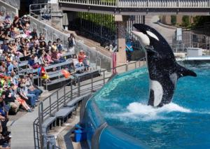 Visitors are greeted by an Orca killer whale as they attend a show featuring the whales during a visit to the animal theme park SeaWorld in San Diego, California, March 19, 2014.