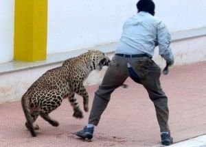 The leopard was tranquillized yesterday evening.