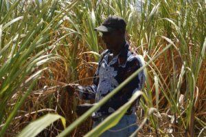 Grantley Hurley at work in the canefield.