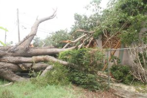 The mahogany tree that fell on Caprice Woodall's house and car yesterday during the storm.