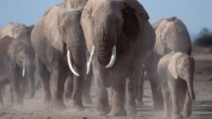 African elephants numbers have fallen dramatically as poaching has increased.
