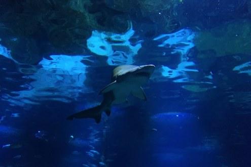 een haai in het aquarium in barcelona