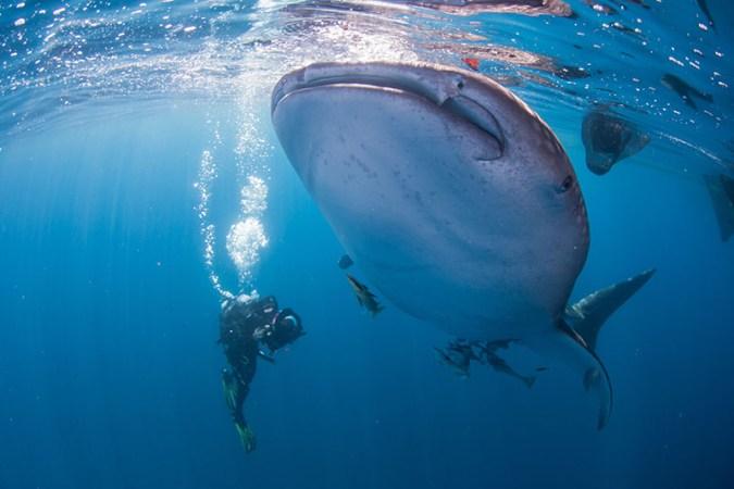 Whaleshark West Papua