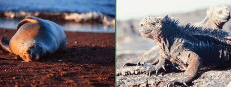 Sea Lion & Iguana