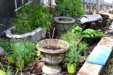 replanting my herbs for spring_small