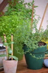 Jade plant with chopsticks_small
