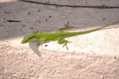 kermit the lizard_small