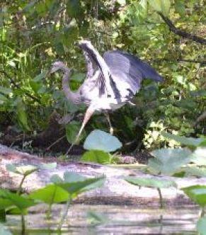 Blue Heron at Silver Springs_small