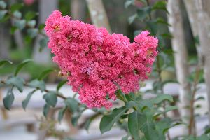 crepe myrtle_small