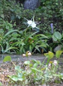 swamp lily 2_small