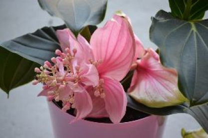 my medinilla_small