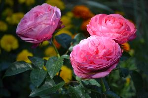 pink roses_small