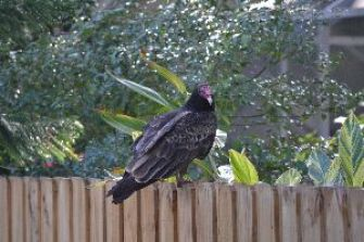 turkey vulture on back fence_small
