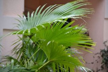 Chinese palm_small