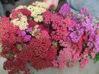 Colorful Yarrow