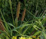 Ornamental Grass - Setaria