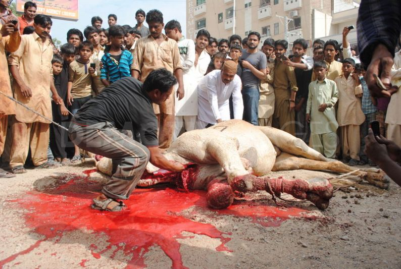 1320757347-camel-sacrifice-during-the-second-day-of-eid-ul-adha_916224