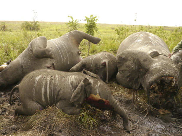 Africa-elephant-poaching