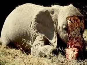 Elefantes-matanza1-300x224