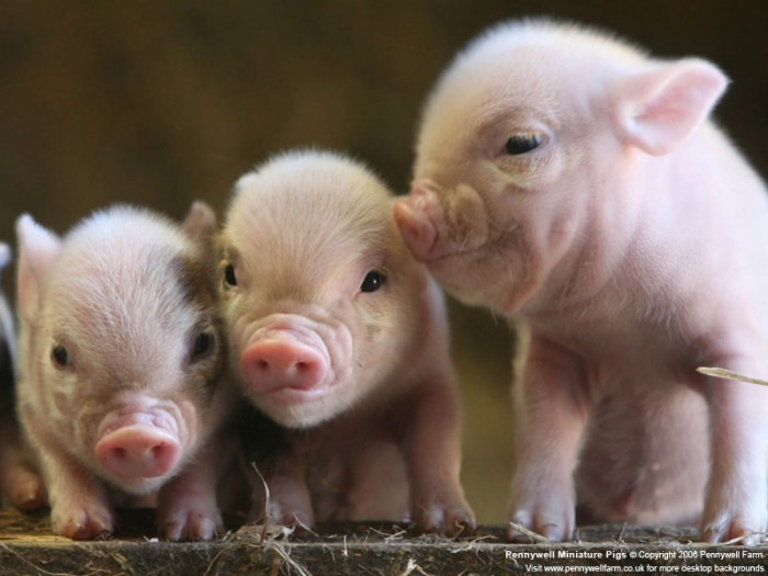 pigs_at_pennywell_S-e1369288209592