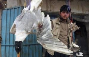 shomali-duck-1-310x200