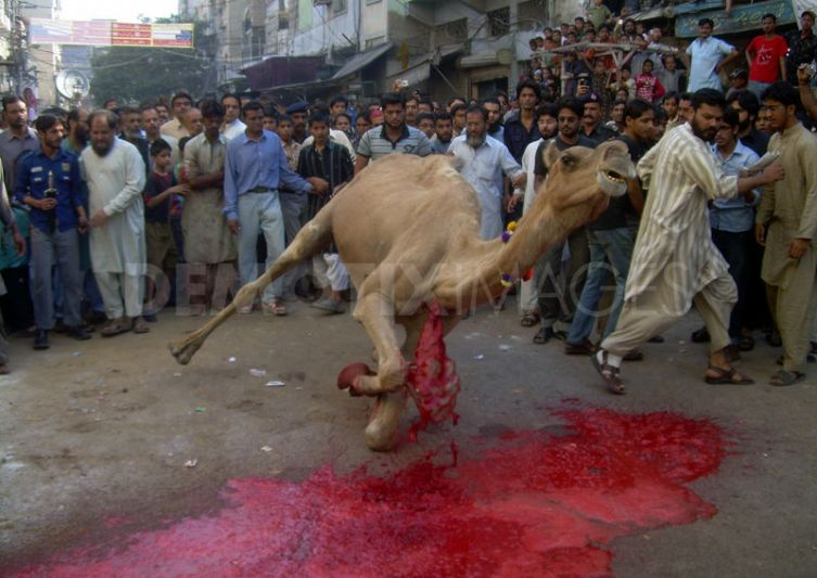 1290240466-camel-sacrifice-during-eid-ul-adha,-karachi_512877[1]