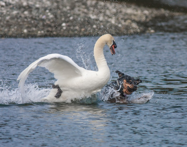 Angry_Mute_Swan_and_Rottweiler