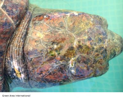 Sea Turtle's bruised head