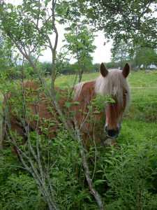 Hestar beiter også lauv. Særleg om våren før lauvet har for mange bitterstoffer. Selje og rogn er ekstra populære.