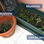 bezelye_maydonoz_cekirdek