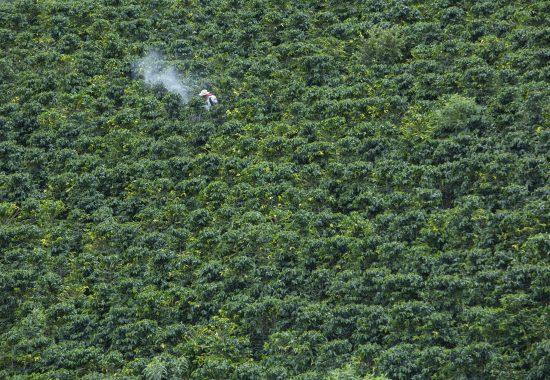 Un exuberante campo de plantas de café.  Un granjero se encuentra en la distancia con una máquina.