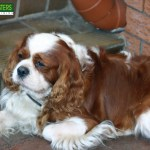 Bark Busters Breed Of The Month The Cavalier King Charles Spaniel