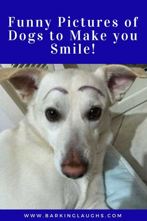 Image of: Quotes Funny Dog With Eyebrows Afrikaneedsyou Time For Some Funny Pictures Of Dogs To Make You Smilebarking Laughs