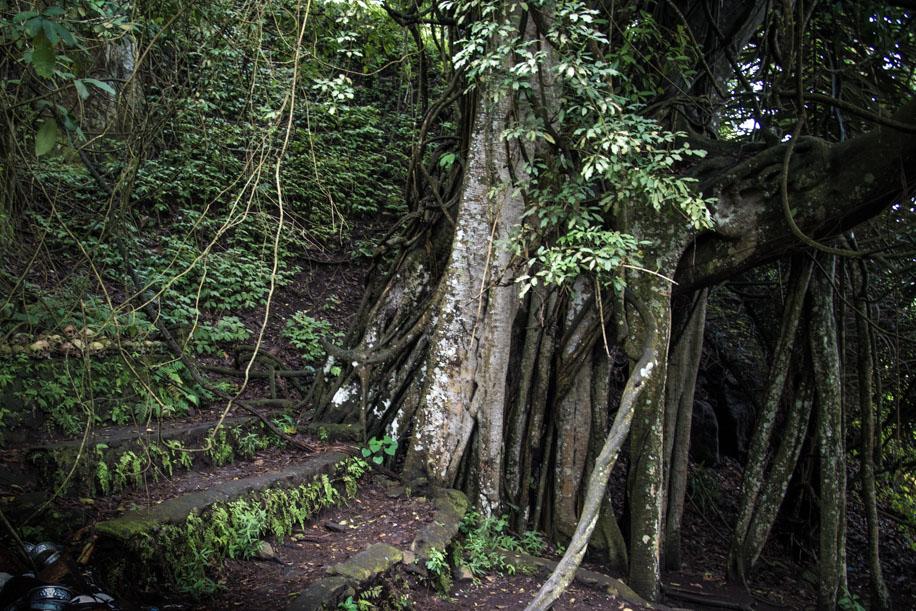 Trunyans hellige træ