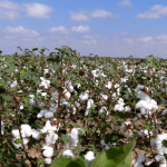 Cotton field in summer