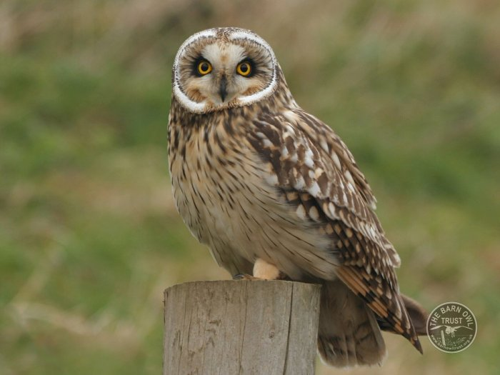 UK Owl Species Short Eared Owl Nick Sampford The