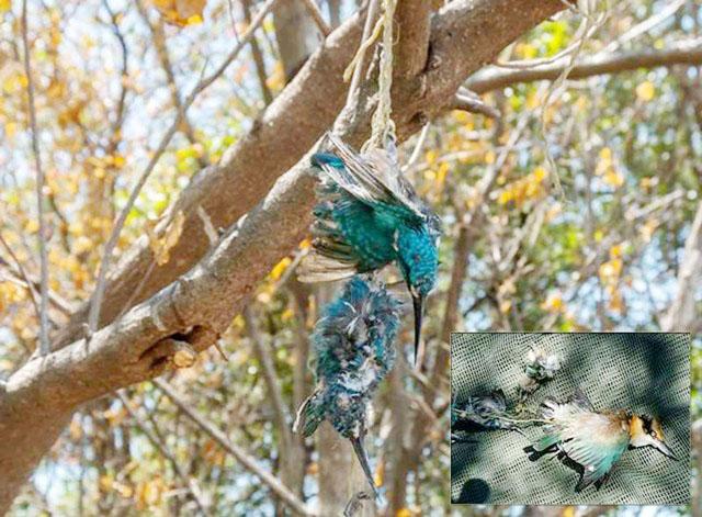 MATI TERTEMBAK: Burung dIlindungi yang mati tertembak di hutan mangrove Wonorejo, Pamurbaya. | Foto: Ist