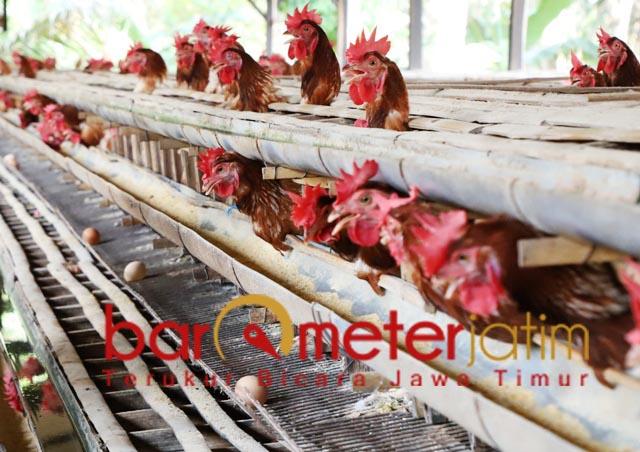 TELOR AMAN DIKONSUMSI: Pemeliharaan unggas dengan penerapan good farming practices. | Foto: Barometerjatim.com/ABDILLAH HR