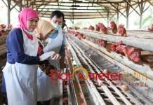 AYAM PETELOR: Khofifah kunjungi sentra peternakan ayam petelor di Tumpang, Malang. | Foto: Barometerjatim.com/ABDILLAH HR