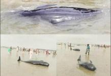 PAUS TERDAMPAR: Puluhan paus terdampar dan mati di Pantai Modung, Bangkalan. Proses evakuasi masih dlakukan. | Foto: IST