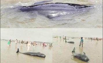 PAUS TERDAMPAR: Puluhan paus terdampar dan mati di Pantai Modung, Bangkalan. Proses evakuasi masih dlakukan.   Foto: IST