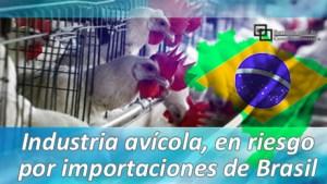 Industria avícola, en riesgo por importaciones de Brasil