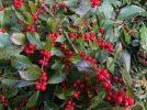 Red Sprite Dwarf Winterberry