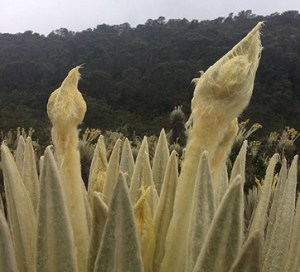 Especie nativa de La Montala del Oso