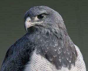 Águila de páramo