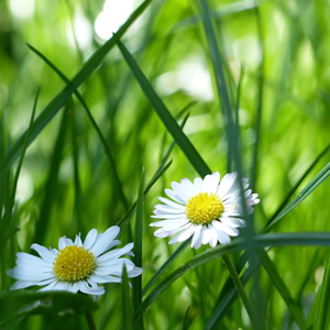 Daisys in long green grass