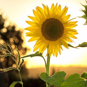 A tall sunflower in a sunset