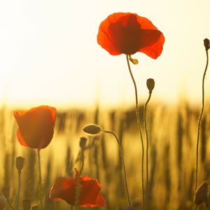 Poppies in a corn field at sunset