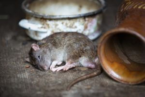 a poisoned rat