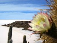 Bloeiende cactussen op Isla de Pescadores